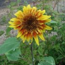 Sunflower Seed The Joker Hybrid Huge Red/Yellow Bicolor