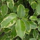 5 Ficus Benjamina WEEPING FIG TREE seeds BONSAI Chinese