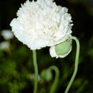 300 White Cloud Papaver Somniferum Poppy Seed Big Bloom