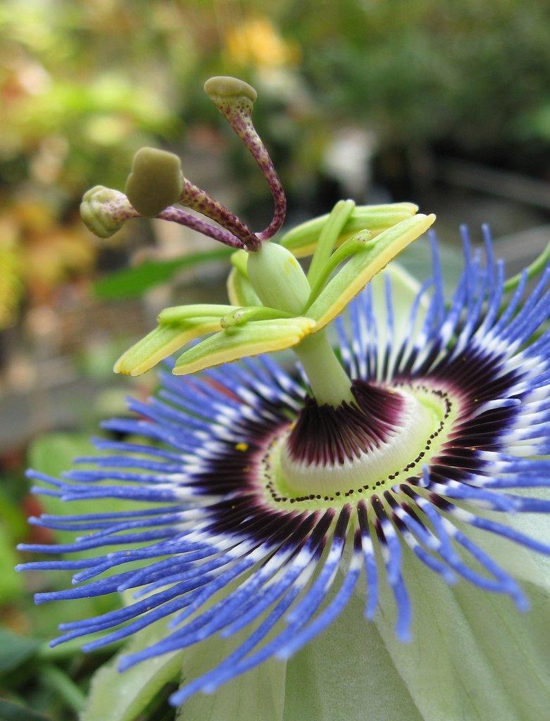 Passion Flower Blue - Passiflora Caerulea - 10 Seeds
