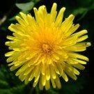 25 DANDELION medicinal flower seeds- Endive -HERB SEEDS