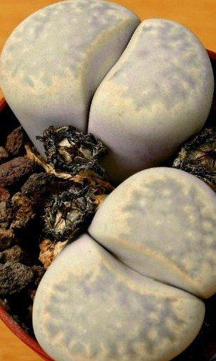 10 LITHOPS JULII Cactus Seeds LIVING STONES African
