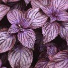 300 RED SHISO SEEDS Asian Herb Perilla Frutescens
