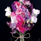 Sweet Pea ~ Urwin's Striped Mix Latyrus Odoratus Seeds