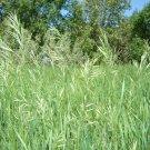 SWEET GRASS PURE SEEDS Heirochloe Odorata SACRED Plant