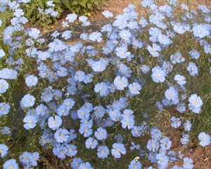 Blue Flax Flower 100 Seeds Linum Linacaea ~ Used for Linseed Oil