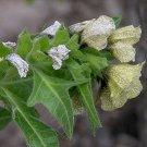 100 Hyoscyamus Niger BLACK HENBANE seeds wiccan herb