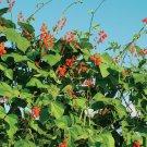 Scarlet Runner Bean Organic (Phaseolus coccineus) Bean 30 Seeds