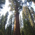 GIANT SEQUOIA TREE SEEDS- Sierra Redwood, Sequoiadendron