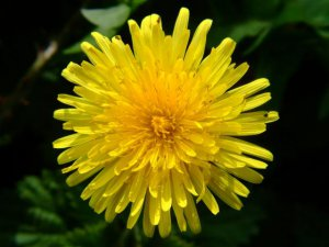 Dandelion (Taraxacum Officinale)- 25 seeds Endive Medicinal Flower