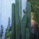 10 Trichocereus Peruvianus KOEHRES Peruvian Torch seeds
