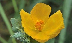 300 GLAUCIUM FLAVUM SEEDS - Yellow Horned Poppy SEA POPPY medicinal herb flower