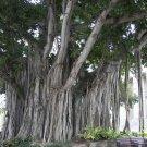 20 Ficus Benghalensis SACRED BANYAN TREE seeds - BONSAI
