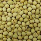 Glycine Max - Soy Bean Seeds- 25 Seed Pack!!