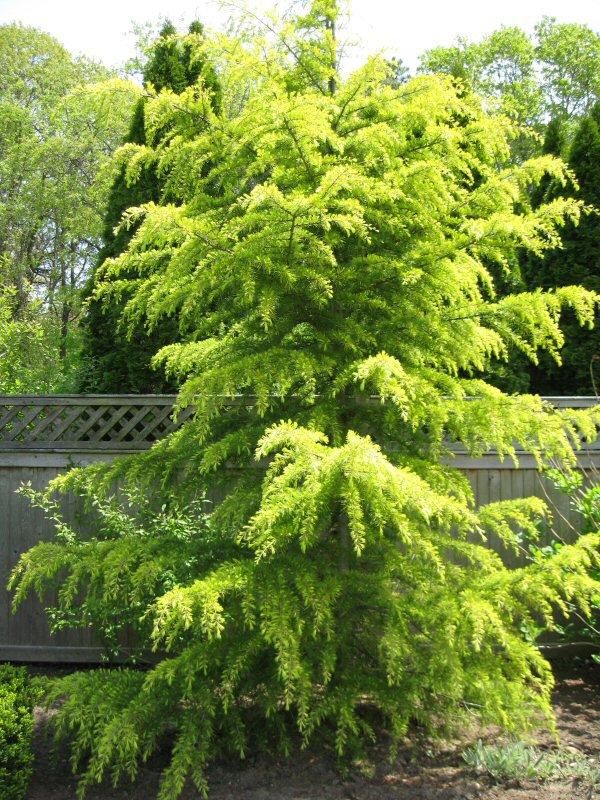 Deodar Cedar Tree Varieties ~ Cedrus deodara tree seeds himalayan cedar deodar