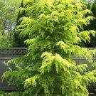 10 Cedrus Deodara Tree Seeds Himalayan Cedar (Deodar Cedar) Large Evergreen Grow