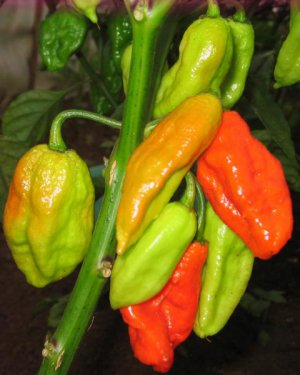 10 Dorset Naga Ghost Pepper Bhut Jolokia 3 Color Varieties - White, Red, Purple