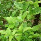 20 Aegle Marmelos Tree Seeds Bael Fruit Bengal Quince ~ Stone apple Aroma