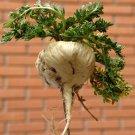 50 LEPIDIUM MEYENII Peruvian MACA seeds *Aphrodisiac* Increase Semen Levels!!!!