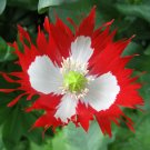 5000 DANEBROG Papaver Somniferum Captivating DANISH FLAG POPPY seeds - BULK DEAL
