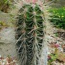 10 CARDON- Pachycereus Pringlei LARGEST Cactus Seeds