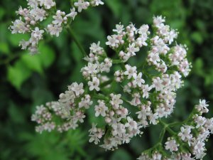 Valerian Root Sedative VALERIANA OFFICINALIS 300+ Seeds