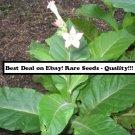 50 Glessnor Nicotiana Tabacum Seeds (Cigar Binder Tobacco) Filler and Heirloom!