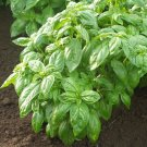 100 Basil Caesar Seeds ~ Aromatic and Sweet ~ Perfect for Lettuce in Salads