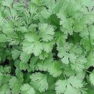 500 Coriander Leisure Seeds (Cilantro)
