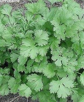 500 Coriander Leisure Seeds (Cilantro)