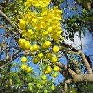 100 Golden Shower Seeds Tree Yellow Cassia Fistula Flower Bactyrilobium fistula