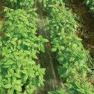 Superbo (Ocimum basilicum) Basil Herb 200 Seeds