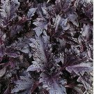 300 Basil Purple Ruffles Seeds slight licorice cinnamon smell decorative Salads