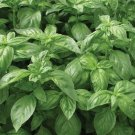 Mozzarella (Ocimum basilicum) Basil Herb 300 Seeds ~ Grow your own Vegetables