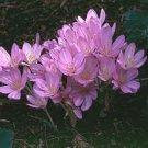 30 Autumn Crocus C. Autumnale Seeds Beautiful Flower