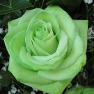 100 green rose seeds