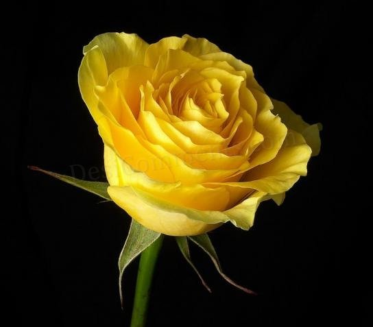100 yellow rose seeds