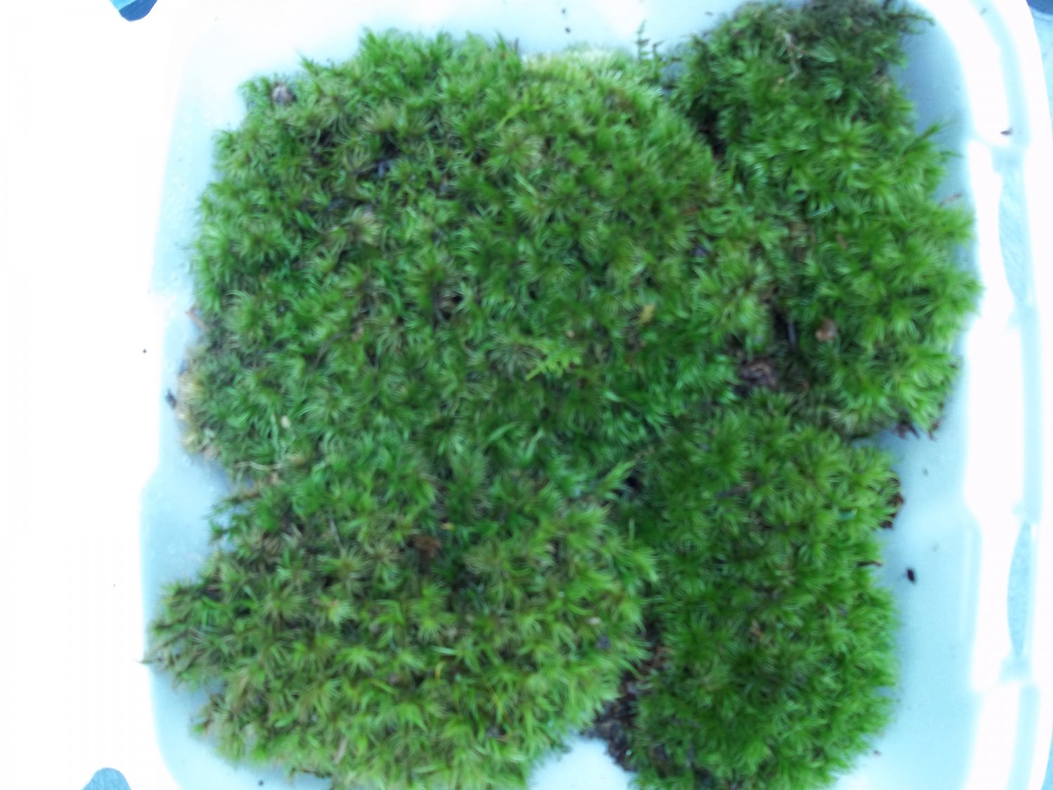 "FRESH LIVE FROG MOOD MOSS - BIG 5"" - 7"" PIECES FOR VIVARIUM"