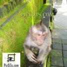 "VAN001201109 - Monkey in Bali - 20x30cm (8x12"")"