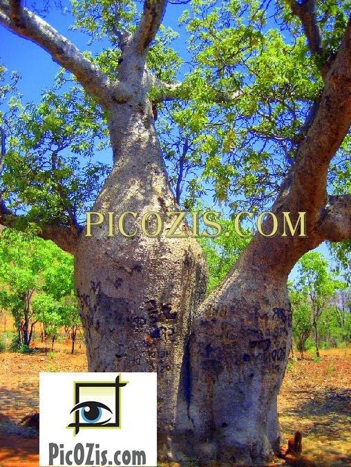 """VLA002201109 - Baubab Tree - 28x35cm (11x14"""")"""