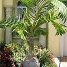 Bottle Palm Tree Hyphorbe Lagenicaulis - 6 Seeds
