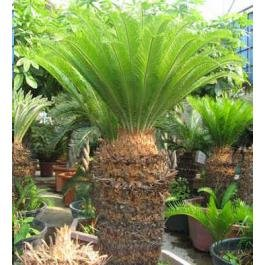 Sago Palm Tree - Cycas revoluta - 10 Quality fresh seeds