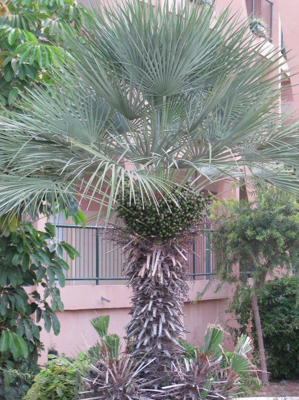 Chamaerops humilis var. cerifera blue palm Tree Drought and cold tolerant 9 seeds