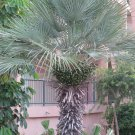 Chamaerops humilis var. cerifera blue palm Tree Drought and cold tolerant 9 seeds