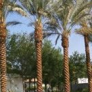 Phoenix dactylifera - Medjool Dates palm tree -30 Seeds