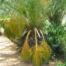 Phoenix Canariensis Canary Island Date Palm tree 50 Seeds