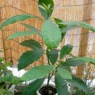 Avocado tree 5 seeds for growing indoors or outdoors