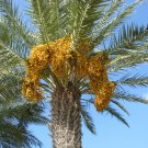 Samanee Edible Date Palm Tree rare Phoenix Dactylifera Yellow dates 8 seeds
