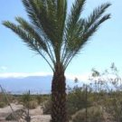 Hayany edible Date Palm Tree rare Phoenix Dactylifera 8 fresh seeds