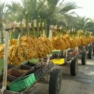 Barhee edible Date Palm Tree rare Phoenix Dactylifera Yellow dates seeds